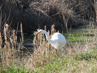 DANCING GREAT EGRET