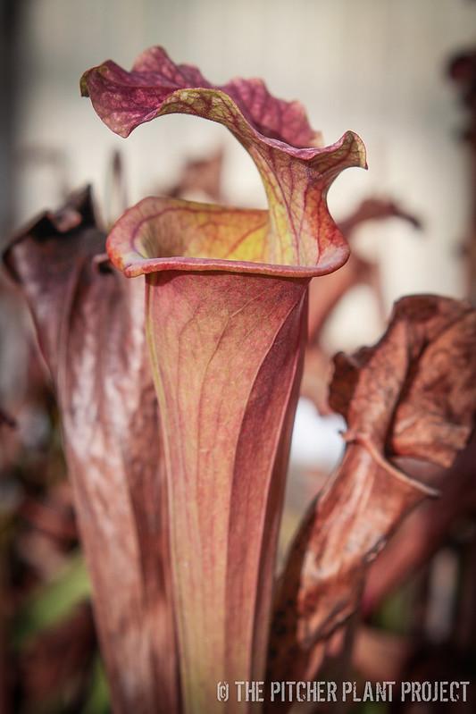 Sarracenia 'Reptilian Rose' x (flava var. rubricorpora x leucophylla) - Clone 14