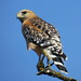 Red-shouldered Hawk 1911 by Ethan.Winning