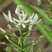 Small photo of Slime Lily (Albuca seineri)