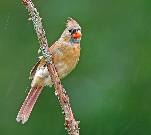 Cardinal 20d_2477