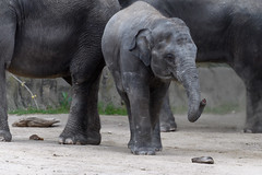Little Elephant Reaching Out with Trunk
