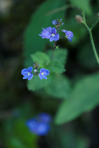 Les petites fleurs bleues per Isabelle Blanchemain a Flickr