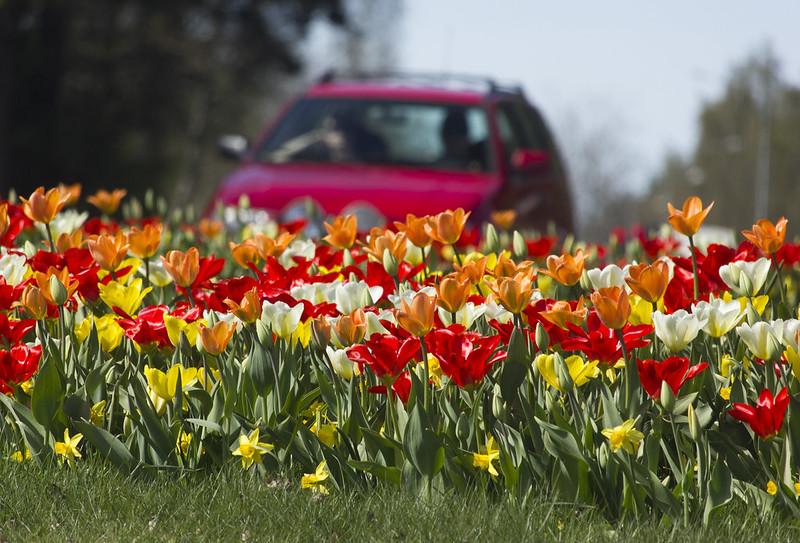 Roundabout Tulips