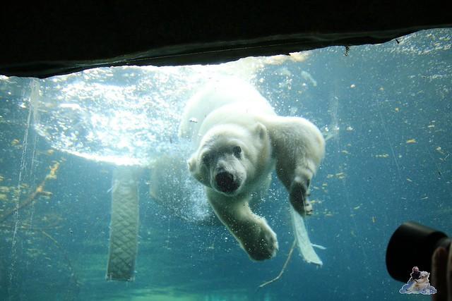 Eisbär Lili im Zoo am Meer Bremerhaven 14.05.2016 Teil 2 075