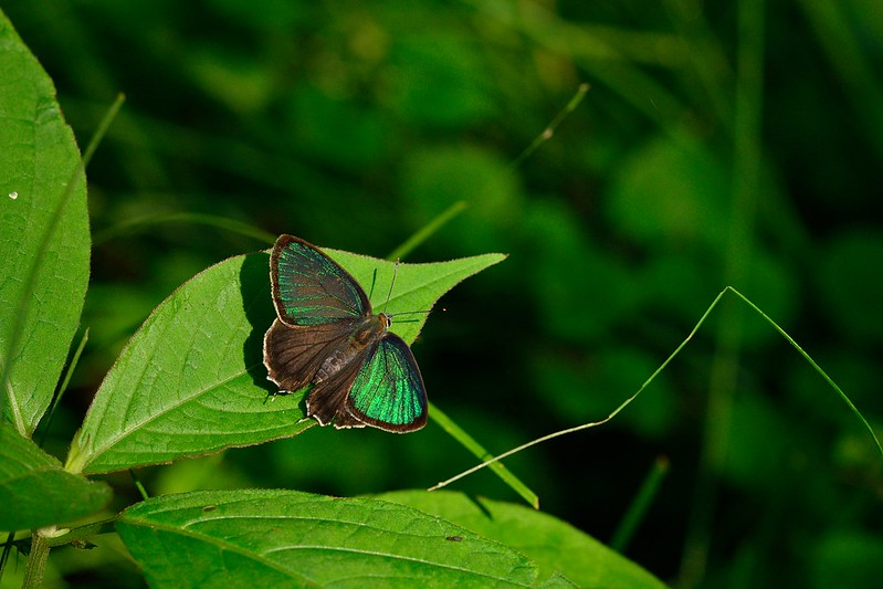 ミドリシジミ / Neozephyrus japonicus / The Green Hairstreak
