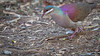 Key West Quail-Dove - Geotrygon chrysia