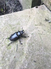 Stag beetle in my back garden