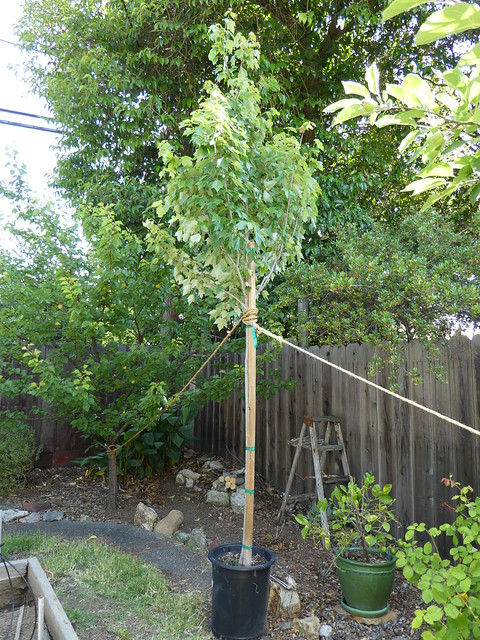 New Maple Tree