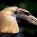 Blythe's Hornbill by Dom Walton