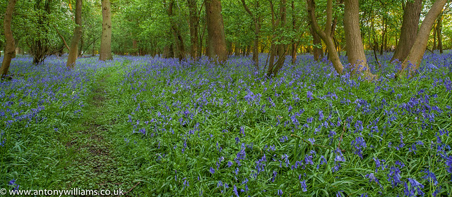 Worcestershire Bluebells