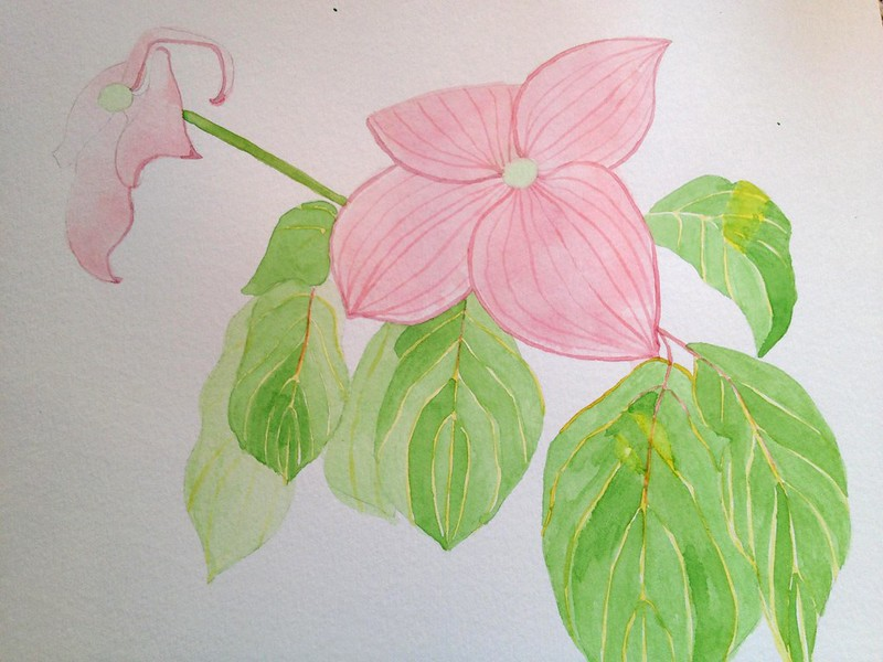 Dogwood watercolour with detail