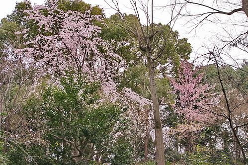 【写真】2013 桜 : 車折神社/2019-09-15/IMGP8785