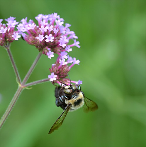 Fuzzy-coated bee hangs from pink Verbena cluster by jungle mama
