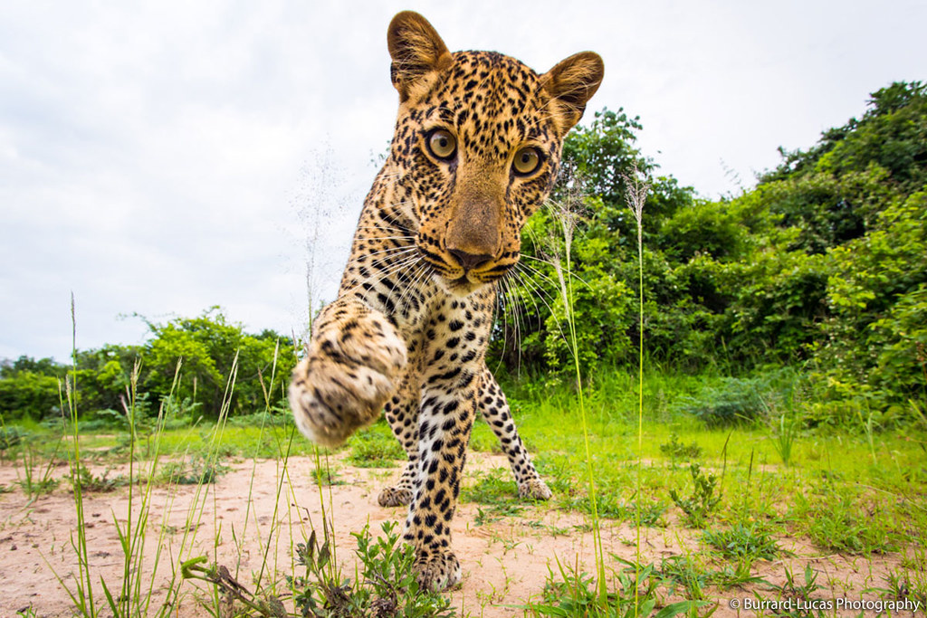 Enjoy our pic of the day of an inquisitive leopard, taken in South Luangwa Natl Park, Zambia, by our partner, William Burrard-Lucas using a remote controlled 'BeetleCam' or buggy w/ a camera on top! See more unique BeetleCam pics of African wildlife @ bit.ly/y5u949. Learn about Panthera's leopard conservation work in South Africa @ bit.ly/flEZT1