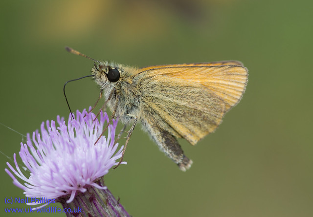 Essex skipper-2