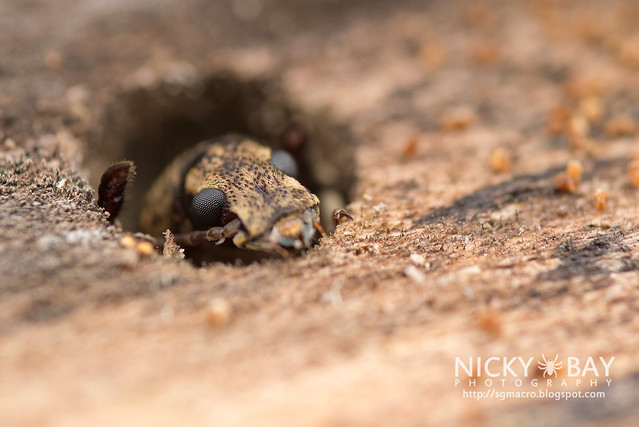 Fungus Weevil (Anthribidae) - DSC_1682