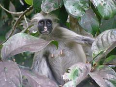 capuchin monkey(0.0), white-headed capuchin(0.0), macaque(0.0), animal(1.0), monkey(1.0), mammal(1.0), langur(1.0), fauna(1.0), spider monkey(1.0), new world monkey(1.0), jungle(1.0), wildlife(1.0),