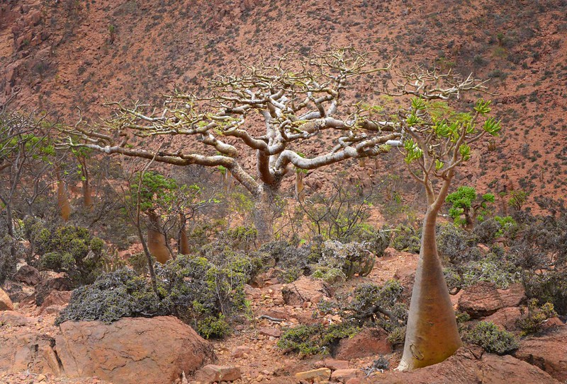 Frankincense Tree, Socotra Is