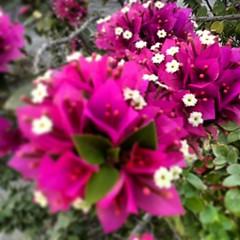 #Bougainvillea #Flowers #dubai #tagsforlikes #instagram