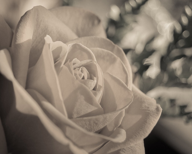 Rose, Monochrome, Flower, B&W, Bokeh