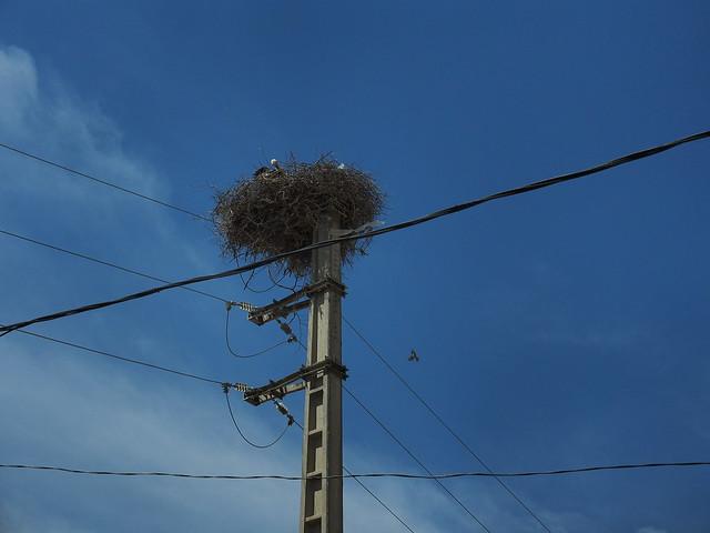 在電線桿上築巢的鸛鳥