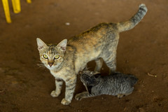 savannah(0.0), egyptian mau(0.0), bobcat(0.0), animal(1.0), small to medium-sized cats(1.0), pet(1.0), mammal(1.0), european shorthair(1.0), fauna(1.0), cat(1.0), wild cat(1.0), whiskers(1.0), domestic short-haired cat(1.0),