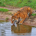 Thirst of the tiger by Wildlife Online