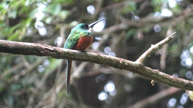 Rufous-tailed Jacamar