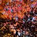 色どる光、形づくる影 - Color and silhouette of maple leaves -