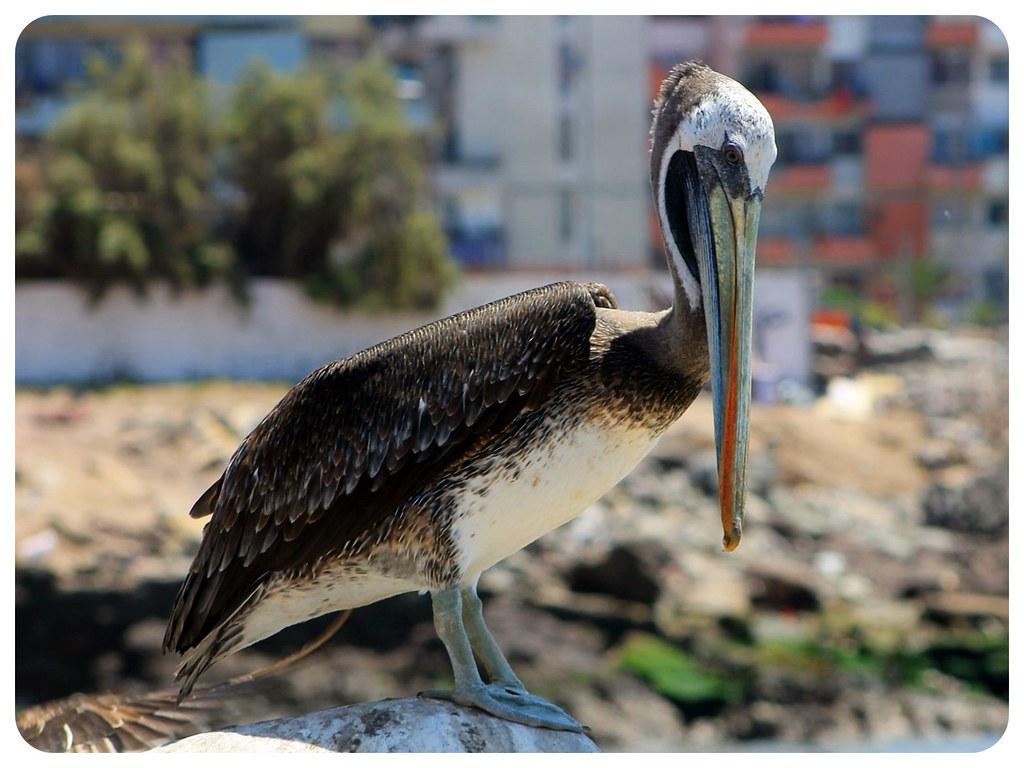 iquique pelican chile