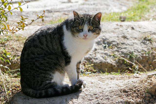 A cat in Shiraz シラーズ郊外のネコ