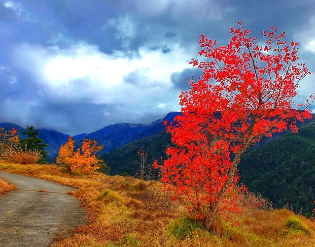 武陵農場雪山登山口的楓葉