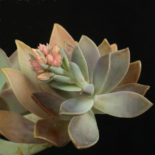 Graptoveria 'Fred Ives' by Liz21UK