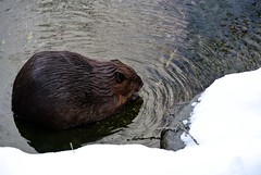 animal, otter, rodent, fauna, beaver, wildlife,