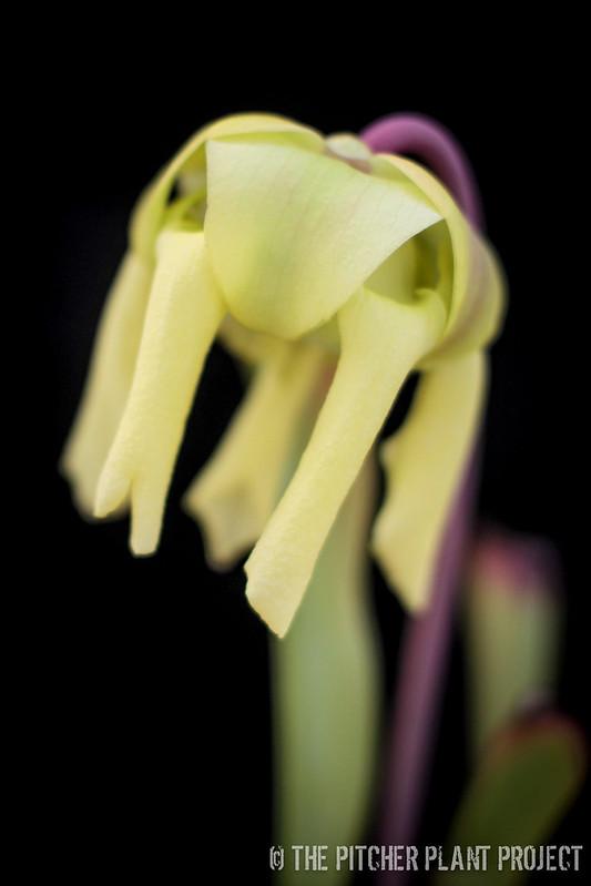 Sarracenia flava var. rugelii
