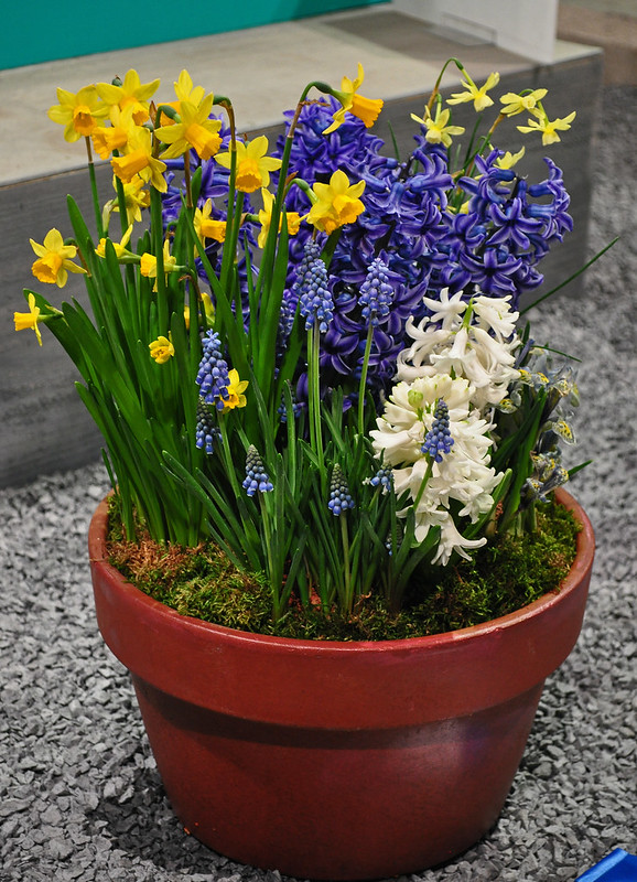Potted Bulbs (1)