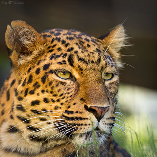 a leopards head