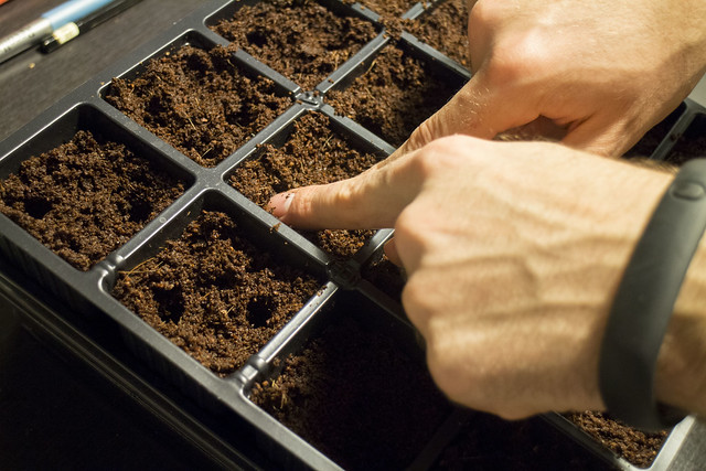 Planting Tomato Seeds 2014_6