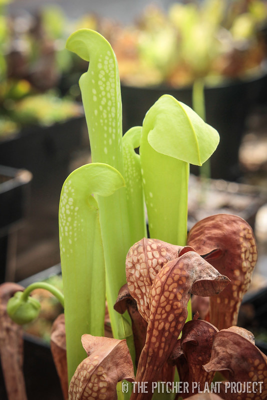 Sarracenia minor = AF