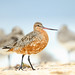 Bar-tailed Godwit by 0ystercatcher