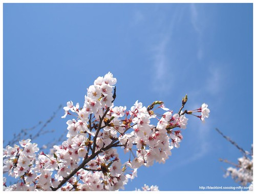 Cherry blossoms & blue sky #01