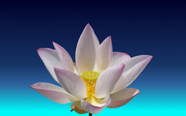 Header of lotos