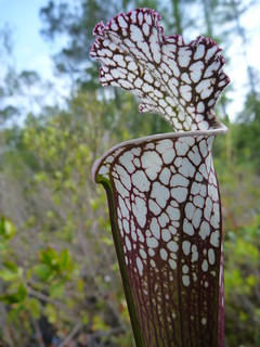 White topped pitcher plant