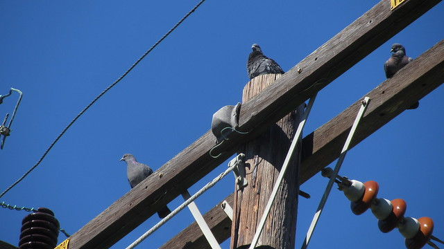 IMG_9524 pigeons on power pole