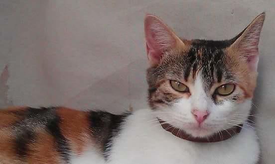 Birra, gatita tricolor muy guapa y dulce, esterilizada y nacida en Febrero'14 busca hogar, Valencia 16317118927_884fbf2fc4_z