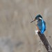 Kingfisher on the Reeds