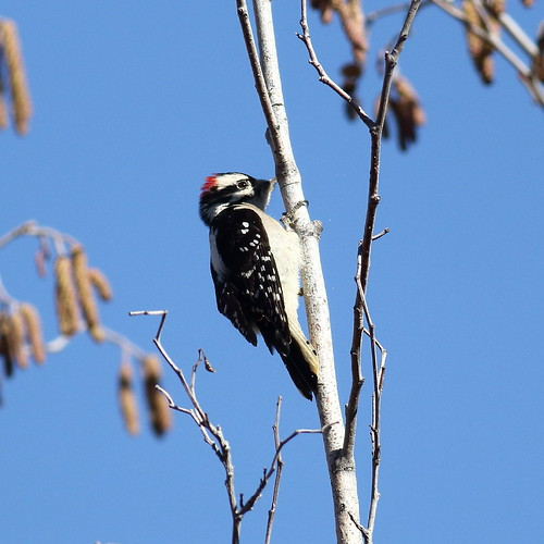 bird downywoodpecker washingtonstate snowmountainranch yakimacounty cowichecanyonconservancy