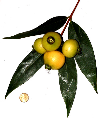 Syzygium jambos DSC_0129 (6)
