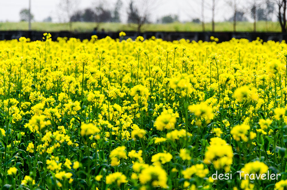 Golden flowers of mustard Sarson ke Khet